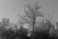 drzewo-bw.jpg